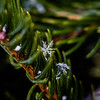 A snowflake flaunts its beautiful details in careful grasp of an evergreen. Staff Photo By Josh Hicks