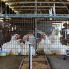 Chicken cages are suspended from the ceiling in the poultry and rabbit barn at the Clark County Fairgroudns.
