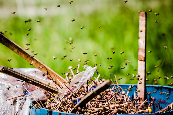 Bees swarm around a pile of disolved candy, harvesting sugar water to build up food stores to survive the winter.