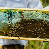 These bees got into a patch of blackberries, which turned their honey into a blue-green color.