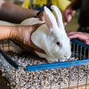 Hands grasp a New Zealand White rabbit as it gets weighed in on Saturday.