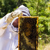 Terri Mason holds up a frame of bees as she searches for a queen bee.