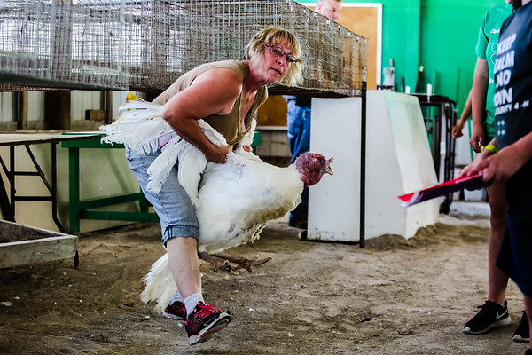 DeKalb County visitor Linda Carunchia wrangles a 40 pound turkey back to its cage after being weighed in at the Clark County Fair on Saturday. Staff Photos By Josh Hicks