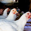 A row of Cornish Cross chickens wait in line to be weight at the poultry check in on Saturday.