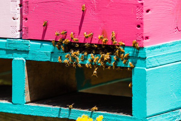 "Russian Honey Bees emerge from a colorful hive. ""Russians are smaller, more aggressive...[and] more durable in the winter,"" says Lynch."