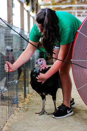 Ruby Whiteford, 13, Linda Carunchia's granddaughter, escorts a turkey back its cage.