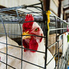 A Chicken keeps an eye on the camera during the Floyd County Fair on Thursday. Staff Photo By Josh Hicks