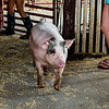 A pig makes an entrance as it gets led back to its pen during the Floyd County Fair on Thursday. Staff Photo By Josh Hicks