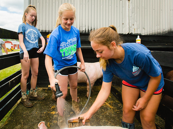 From left, Isabella Mattingly, 14, Casey Aldridge, 12, and Gracie Allen, 14, scrub pigs during the Floyd County Fair on Thursday. Staff Photo By Josh Hicks