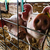 Two pigs pose for a photo during the Floyd County Fair on Thursday. Staff Photo By Josh Hicks.