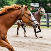 Pistol, a quartermaster horse, plays in a horse pen during the Floyd County Fair on Thursday. Staff Photo By Josh Hicks