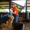 Rose Korte, 17, cleans out a pig pen during the Floyd County Fair on Thursday. Staff Photo By Josh Hicks