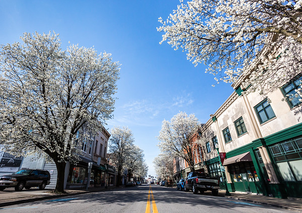 """Aristocrat"" Callery pear trees bloom over Spring Street in Jeffersonville as we approach spring. Staff Photo By Josh Hicks"