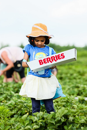 Nandu Chivukala, 5, inspects her strawberries in a field at Huber's Orchard & Winery on Saturday. Staff Photo By Josh Hicks
