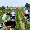People flock to Huber's Orchard & Winery to pick strawberries on Saturday. Staff Photo By Josh Hicks