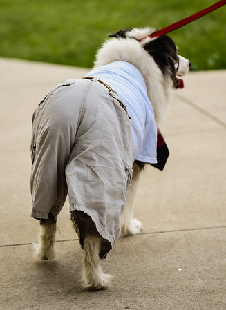 Foster, a 12-year-old Aussie/border collie mix, follows his owner back to their seats while dressed as a human for the Harvest Homecoming Pet Costume Contest on Monday in New Albany. Staff photo by Tyler Stewart