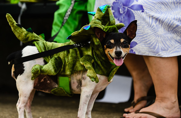 Baby, a rat terrier mix, cracks a smile while dressed as a triceratops as he waits to compete in the Harvest Homecoming Pet Costume Contest on Monday. Staff photo by Tyler Stewart