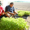 6-5-12<br /> Ray Brothers Farms <br /> Gustavo Mendez and Thomas Fuentes feed the plants into slots on the planter that holds 8 people planting and 2 feeting trays of plants to the planters.<br /> KT photo | Tim Bath
