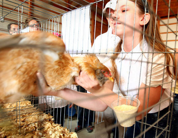 7-10-12<br /> Howard County Fair<br /> Sharlene Lossing reaches into the cage to bring out her Aracauna breed of fowl for judging.<br /> KT photo | Tim Bath