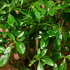 Schefflera plant, also known as an umbrella plant.