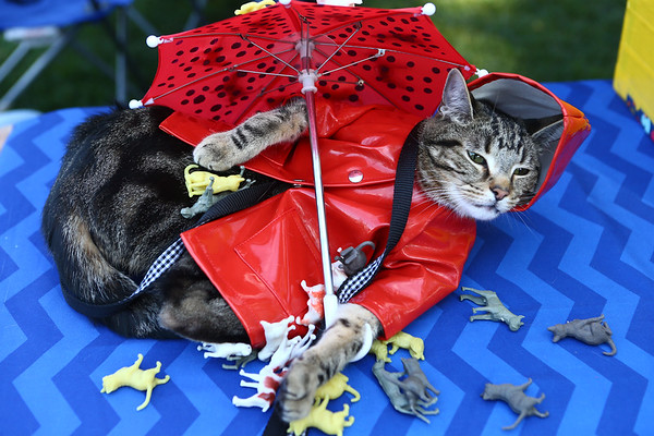 """Frog, a cat, donned a rain coat and an umbrella for a """"It's Raining Cats and Dogs"""" themed-outfit at Barktoberfest in Foster Park on Saturday, October 7, 2017.<br /> Kelly Lafferty Gerber 