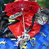 "Frog, a cat, donned a rain coat and an umbrella for a ""It's Raining Cats and Dogs"" themed-outfit at Barktoberfest in Foster Park on Saturday, October 7, 2017.<br /> Kelly Lafferty Gerber 