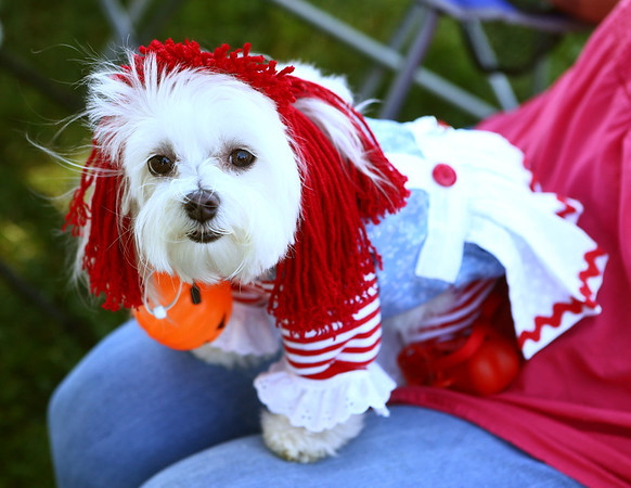 Maggie May, a Maltese, was dressed like Raggedy Ann for Barktoberfest in Foster Park on Saturday, October 7, 2017.<br /> Kelly Lafferty Gerber | Kokomo Tribune