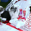 Sweet Pea and Harry went with a couple's costume as a bride and groom, complete with cake, champagne glasses, and a ring during Barktoberfest in Foster Park on Saturday, October 7, 2017. The pair won the event's costume contest.<br /> Kelly Lafferty Gerber | Kokomo Tribune