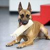 Navi, a Belgian Malinois, lays down with his toy in tow at Sit Means Sit in Kokomo.<br /> Kelly Lafferty Gerber | Kokomo Tribune