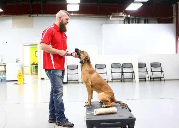 Chris Altherr works with Navi, a Belgian Malinois, at Sit Means Sit, a dog training facility in Kokomo.<br /> Kelly Lafferty Gerber | Kokomo Tribune