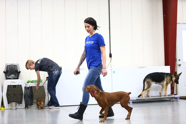 Bre Altherr walks Midge, a Redbone Coonhound, around the training area at Sit Means Sit in Kokomo.<br /> Kelly Lafferty Gerber | Kokomo Tribune