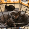 Kittens recently brought to the Kokomo Humane Society are with their mother in the adoptable cat room on Thursday, July 19, 2018, at the Humane Society's new location on 729 East Hoffer Street.<br /> Kelly Lafferty Gerber | Kokomo Tribune
