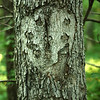 The bark on the tree looks like a face. Okie Pinokie, a woods with walking trails near the Mississinewa River in Peru is supposedly haunted.<br /> Kelly Lafferty Gerber | Kokomo Tribune