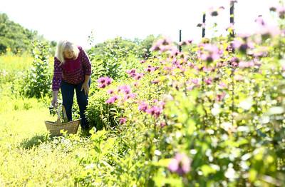 Joan Johnson picks herbs at her organic farm she shares with her husband Bob, Nektar Flow Farms, on July 6, 2018. Kelly Lafferty Gerber | Kokomo Tribune