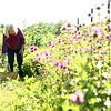 Joan Johnson picks herbs at her organic farm she shares with her husband Bob, Nektar Flow Farms, on July 6, 2018.<br /> Kelly Lafferty Gerber | Kokomo Tribune