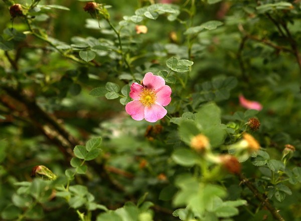 """An eglantine, also known as an old-fashioned rose, is one of the flowers mentioned in the Cole Porter hit, """"Old Fashioned Garden,"""" which was inspired by his step grandmother's garden. Now Susan Jordan has created an Old Fashioned Garden of her own.<br /> Kelly Lafferty Gerber   Kokomo Tribune"""