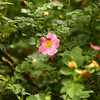 """An eglantine, also known as an old-fashioned rose, is one of the flowers mentioned in the Cole Porter hit, """"Old Fashioned Garden,"""" which was inspired by his step grandmother's garden. Now Susan Jordan has created an Old Fashioned Garden of her own.<br /> Kelly Lafferty Gerber 