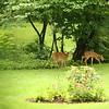 Two fawn make an appearance in Richard and Mary Ellis' backyard during the Garden Stroll on Saturday, June 23, 2018.<br /> Kelly Lafferty Gerber | Kokomo Tribune