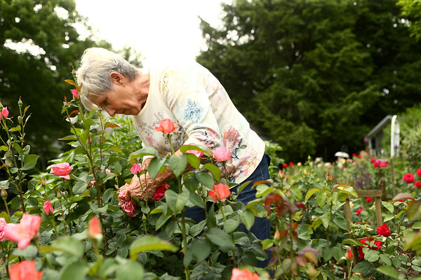 Susan Jordan prunes in her Old Fashioned Garden on June 5, 2018.<br /> Kelly Lafferty Gerber   Kokomo Tribune
