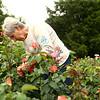Susan Jordan prunes in her Old Fashioned Garden on June 5, 2018.<br /> Kelly Lafferty Gerber | Kokomo Tribune