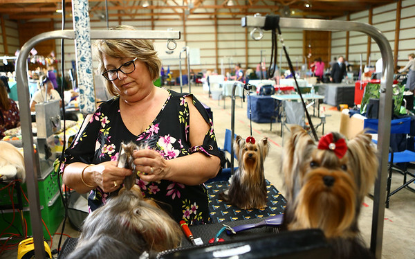 Sherri Spieth from Fort Wayne works on the fur of her three Yorkshire Terriers from left: Big, Cosmo, and Chase, during the Kokomo Kennel Club dog show on Saturday, May 19, 2018.<br /> Kelly Lafferty Gerber   Kokomo Tribune