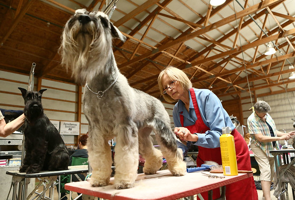 Cheryl Crompton rooms her standard schnauzer from Sweden, Ariel, who has the registered name of Velvet Dandys Little Mermaid at Stahlkrieger, at the Kokomo Kennel Club dog show on Saturday, May 19, 2018.<br /> Kelly Lafferty Gerber   Kokomo Tribune