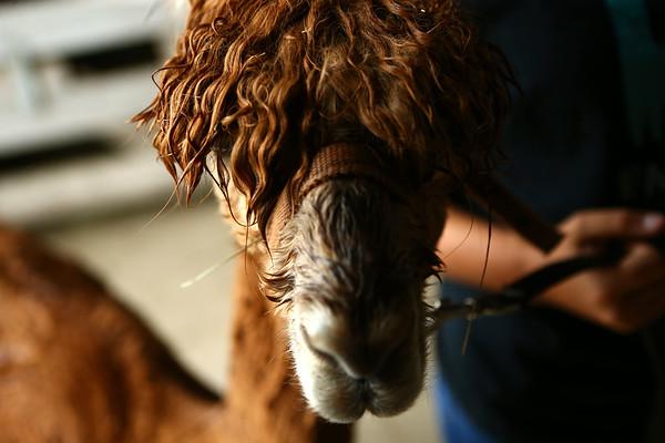 Tango the alpaca at Heritage Farms on May 30, 2018.<br /> Kelly Lafferty Gerber   Kokomo Tribune