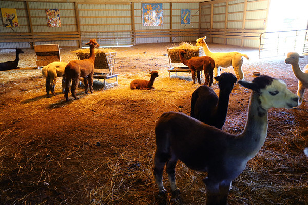 Circus City Alpacas in Miami County raises alpacas for fiber or fleese and to sell the animals for 4h and pets. Andrea Hammesley works the farm on July 11, 2019. <br /> Tim Bath | Kokomo Tribune