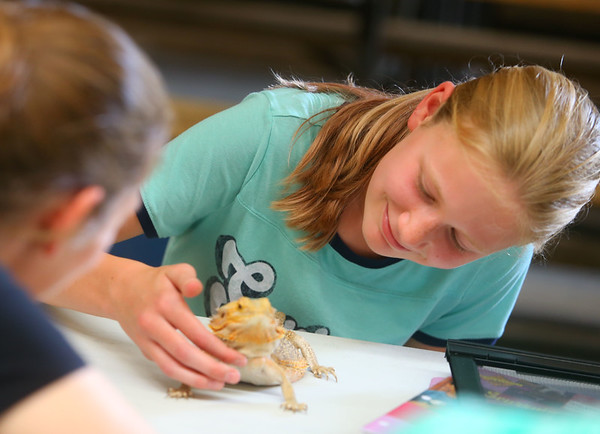 Ava Kantz, 12, shows Deb the bearded dragon to small animal judge Renell Finke during the small animal show, on Tuesday, July 2, 2019, one of the Howard County 4-H Fair's pre-fair activities. Kantz won grand champion.<br /> Kelly Lafferty Gerber | Kokomo Tribune