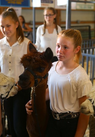 Llama and Alpaca show at the Howard County 4-H Fair on Tuesday, July 9, 2019.<br /> Kelly Lafferty Gerber | Kokomo Tribune