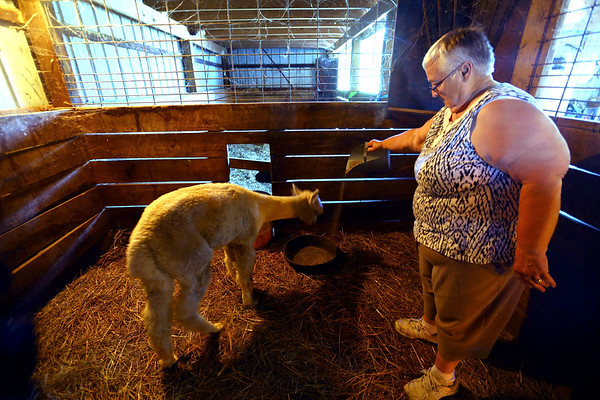 Circus City Alpacas in Miami County raises alpacas for fiber or fleese and to sell the animals for 4h and pets. Andrea Hammesley works the farm on July 11, 2019.  Tim Bath   Kokomo Tribune