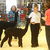 Llama and Alpaca show at the Howard County 4-H Fair on Tuesday, July 9, 2019.<br /> Kelly Lafferty Gerber | Kokomo Tribune