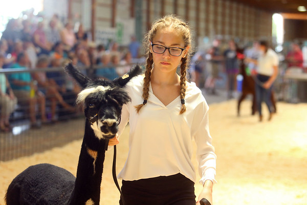 Llama and Alpaca show at the Howard County 4-H Fair on Tuesday, July 9, 2019.<br /> Kelly Lafferty Gerber   Kokomo Tribune