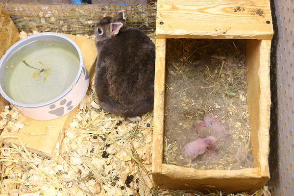 Harper the rabbit and her babies who were born on Feb. 24 relax in Maconaquah High School's Brave Bunny Rabbitry on Feb. 26, 2020.<br /> Kelly Lafferty Gerber | Kokomo Tribune